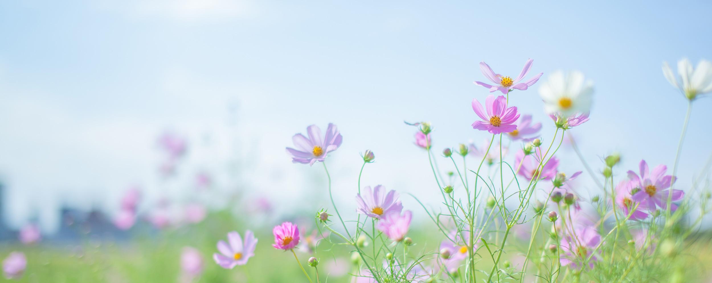 秋桜のイメージ
